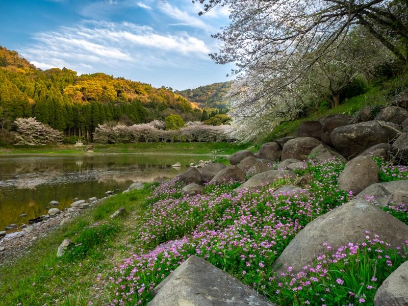 宇土市七曲池(甲岩自然公園)の桜