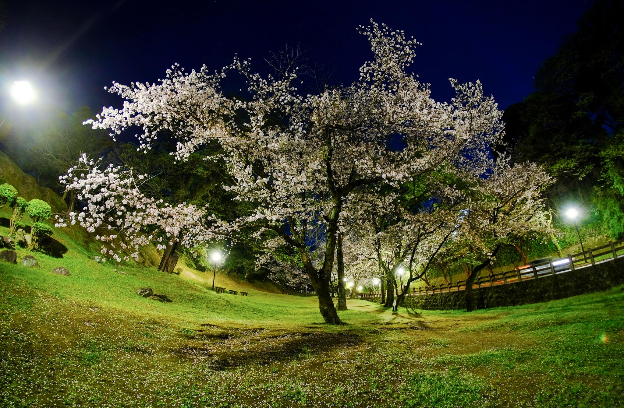 7artisans 7.5mm F2.8 を使った夜桜の撮影