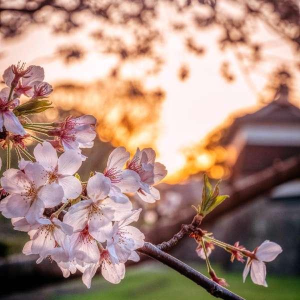 商品と作品の違い 著作権無料の配布サイトPixabayに投稿した桜の写真